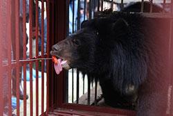 Kragbjörn räddad till AAF:s räddningscenter för f.d. gallbjörnar