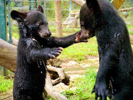 Björnungar på AAF:s räddningscenter för gallbjörnar