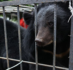 Månbjörnar räddade av Animals Asia Foundation