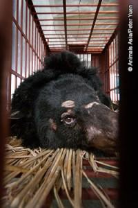 Björn i bur på kinesisk gallfarm