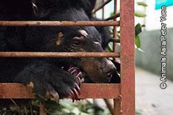 Misshandlad björn i bur på gallbjörnfarm