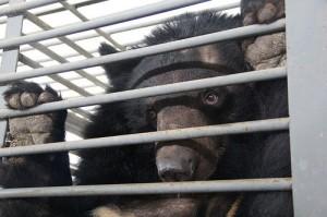 Gallbjörn instängd i bur på kinesisk gallfarm