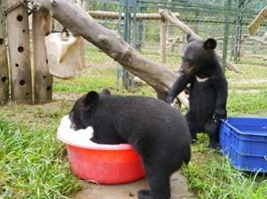 Björnungar leker i bubblor på AAF:s räddningscenter för gallbjörnar