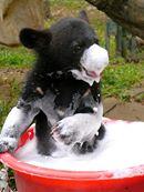 Björnungar på Animal Asia Foundations räddningscenter för gallbjörnar