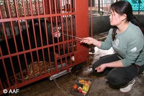 Björnskötaren Chen på AAF:s björnhem i Chengdu matar björnen Watermelon