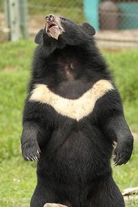 Frisk och glad kragbjörn