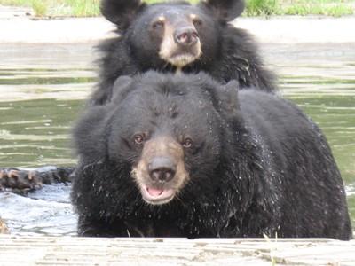 Två räddade björnar på AAF:s räddningscenter i Chengdu