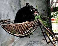 F.d. gallbjörnen Juniper prövar sin korgsäng