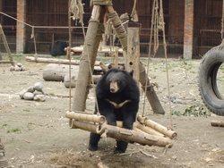 Den räddade f.d. gallbjörnen Mafi gungar på AAF:s räddningscenter för björnar