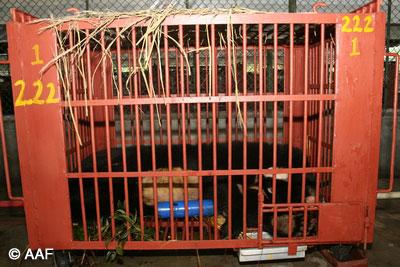 Den f.d. gallbjörnen Watermelon i sin återhamntningsbur på AAF:s björnhem