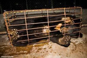 Inburad gallbjörn i Kina