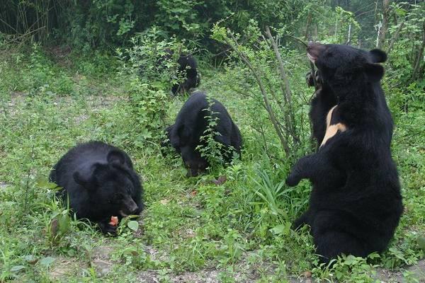F.d. gallbjörnar som njuter av friheten på Animals Asia Foundations björnhem i Kina.