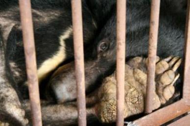 Gallbjörn fotograferad på gallfarm i Kina (Fotografi: Animals Asia Foundation)