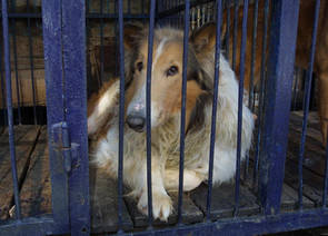 Inburad collie-hund i väntan på slakt