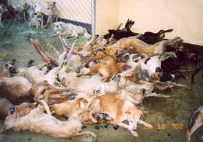 Transport av hundar i Asien.
