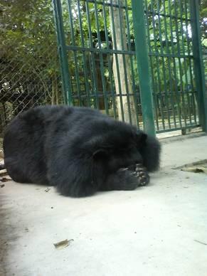 Björnen SomSi som Animal Protection Network sponsrar i Thailand