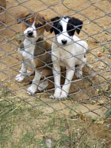 Hundvalpar i Indien i väntan på sterilisering