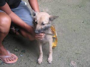 Förgiftad hundvalp räddad av APN:s partner Soi Dog Foundation på Phuket i Thailand