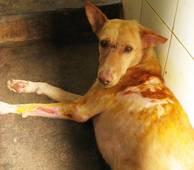 Vanvårdad hund i Indien