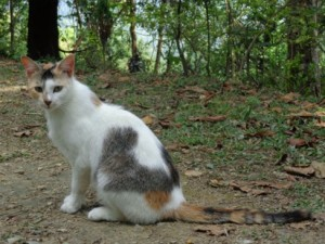 Katt på Kalimpongs djurcenter i Indien