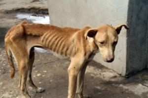 Tillstånd när hunden blev räddad