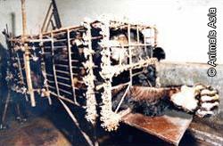 Gallbjörn på kinesisk gallfarm spenderade flera år i bur.