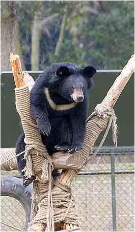 Björn räddad från gallfarm i Kina.