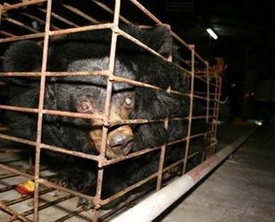 Björn i bur på kinesisk gallfarm. (Bild: Animals Asia Foundation)