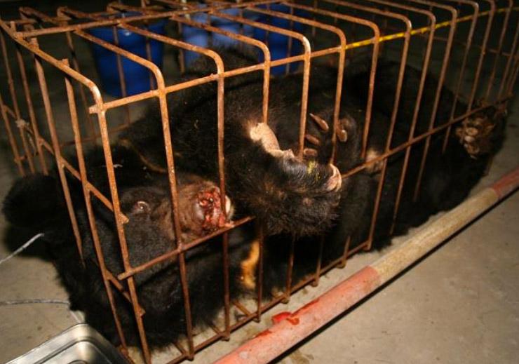 Gallbjörnar vanvårdas dagligen på gallfarmer i Kina.